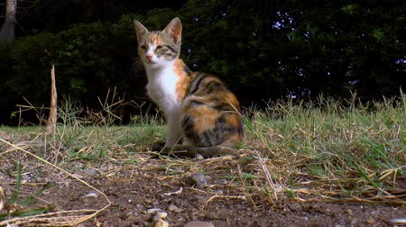 trikolóra : Calico cat is sitting in the grass of the garden. Dostupné videozáznamy