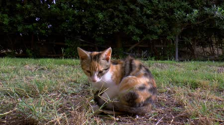 trikolóra : Calico cat is sitting in the garden. Dostupné videozáznamy