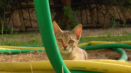 trikolóra : Calico cat lies in the garden behind garden hoses. Dostupné videozáznamy