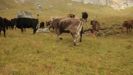 borjúhús : A herd of cows running through the meadow, steadicam shot, slow motion.