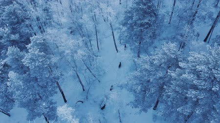 paroh : Aerial shot of a herd of wild deer in the Siberian forest.