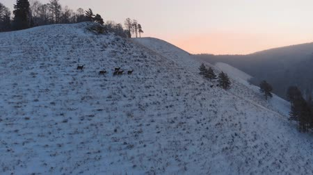 arctic tundra : Herd of wild deer on the mountain.