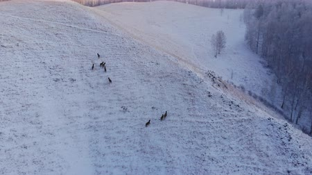 paroh : Herd of wild deer in the mountains.