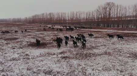 травоядный : Aerial view of horses running on the field in winter.