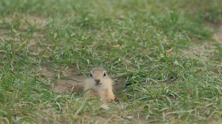 Close-up gopher crawls out of his hole. Wideo