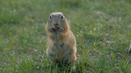 prairie : Closeup of ground squirrels eating the vegetables. The prairie dog are chewing Wildlife of siberia. Stock Footage