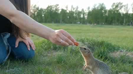 squirrel fur : Woman feeding squirrel in the park. Gopher takes the food out of hand. Kindness and care for animals. Stock Footage
