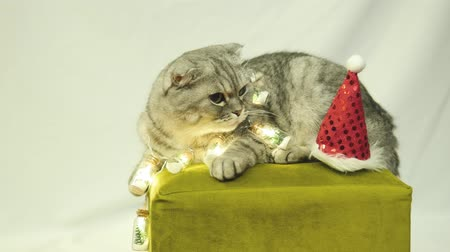Scottish Fold Cat In Garland And Christmas Hat Lies On A Chair