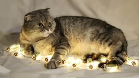 time year : Scottish Fold Cat Lies On A White Background With Christmas Garland Stock Footage