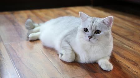 seriously : British Cat Lying On The Floor, Cute Cat Looking