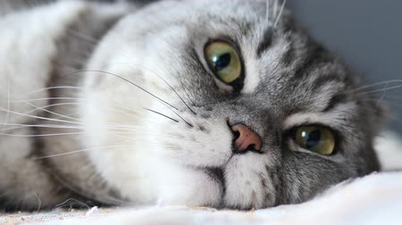 seriously : Close Up View Of Scottish Fold Cat Face, The Cat Lies On Its Face