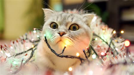 мишура : Scottish fold cat with christmas garland and tinsel