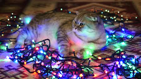 gerçeküstü : Scottish Fold Cat Lying On The Floor, Cat And Christmas Garland