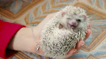 Cute hedgehog eats cricket, hedgehog lies on his back and eats