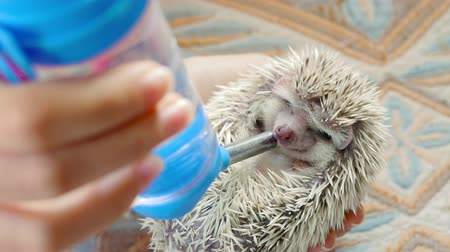 Girl trying to water a hedgehog, hedgehog drinking a water