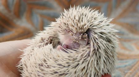 pichlavý : Close-up of a funny hedgehog that eats a cricket