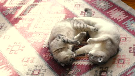 Two cats are fighting on the carpet. Cats play with each other. Cat aggression.