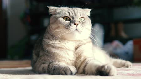 Beautiful scottish fold cat lying on the floor and looking. Proud cat lies stretching its paws. Dostupné videozáznamy