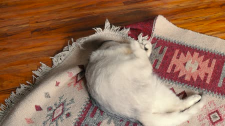 ковер : White cat dabbles in carpet. The cat is playing on the floor. Стоковые видеозаписи