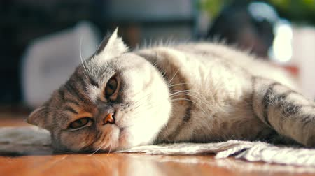 Close up of a cat lying on the floor. Scottish fold cat resting