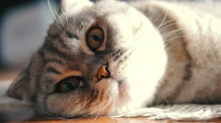 Close up scottish fold cat face lies and look. Cat muzzle resting and looking. Dostupné videozáznamy