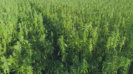 medicament : Medical cannabis plantation, close view of bright green hemp plants