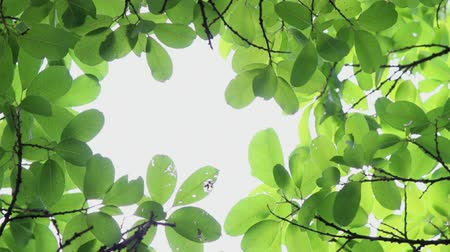 vdo : Footage backlit tree leaves in home flower garden on sunny day with white background.
