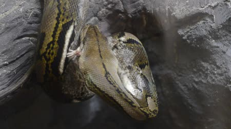 had : snake eat rat