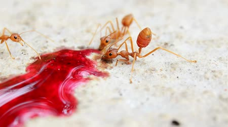 red ant : Red Ant Eating nectar