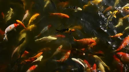 золотая рыбка : Fancy Carp are swimming in above and feeding with bottle