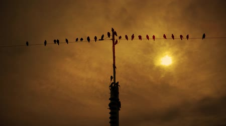 kable : Silhouette birds on the wires in evening sky Wideo