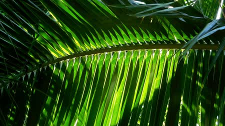 floresta tropical : Sun shining through the coconut tree leave in thailand