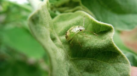 bugs : Green Stink Bug on leaves Stock Footage