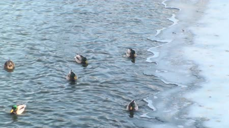 утки : Ducks In A Frozen River
