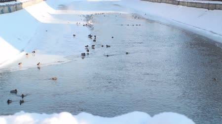 duck : Frozen River With Ducks And Seagulls