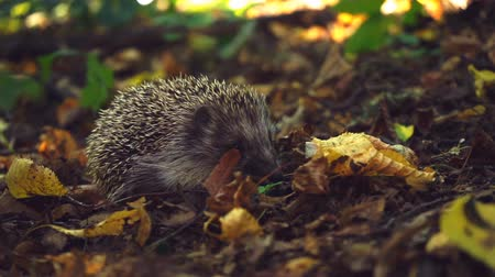 еж : Hedgehog in the foliage