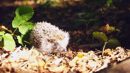pichlavý : Cautious hedgehog in woods