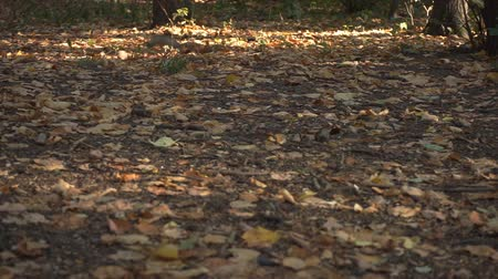 squirrel : Dry foliage in woods and squirrel in background