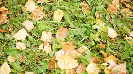 turf : Fallen yellow leaves on green grass