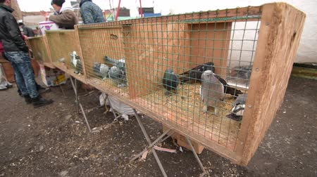 gaiola : Pigeons, doves, columbas and other kind of caged wild birds are waiting their new owners inside of cages behind of iron meshes at a street market on a cold day. Bird fanciers are searching a special bird or kind on the bird bazaar. Vídeos