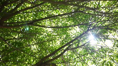 лиственный : Sunlight into tree branches with leaves Стоковые видеозаписи