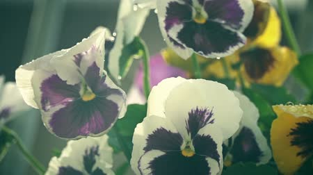 maceška : Potted pansy flowers in the summer rain slow motion shot Dostupné videozáznamy