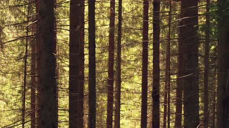 softwood forest : Steadicam shot of a fir tree European forest in summer Stock Footage
