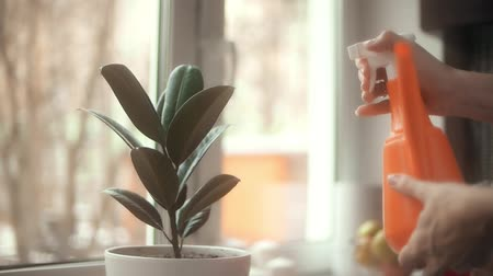 wetness : Young woman spraying potted plant at home, slow motion shot