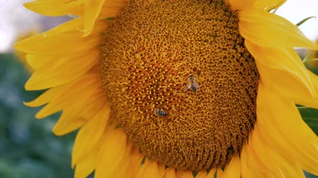 Bee pollenizing the sunflower, close up in slow motion.