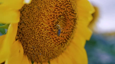 Bee flying and pollenizing the sunflower, close up.