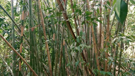 Bamboo trees into the jungle. Stock Footage