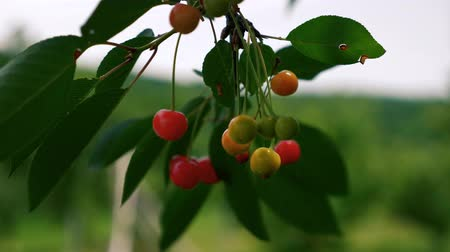 Cherries close up with the wind blowing the tree. Dostupné videozáznamy