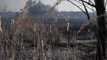 ervas daninhas : On the field burning dry grass. Footage. Burning of straw on the field. Fire, Burning old grass in the field