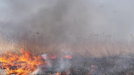 slash and burn : On the field burning dry grass. Footage. Burning of straw on the field. Fire, Burning old grass in the field